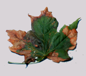 Anthracnose_maple-285x252